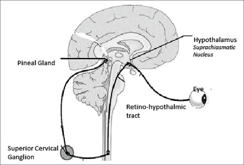 Figure 2: Schematic drawing of light pathway from the eye to the superior chiasmatic nucleus down to the superior cervical ganglion and then back to the pineal gland